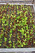 Lettuce 2006
