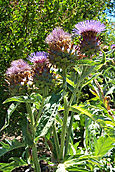 Cardoon blooms