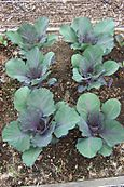 Purple Cabbage 2006