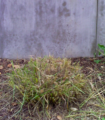 Perennialcutback2