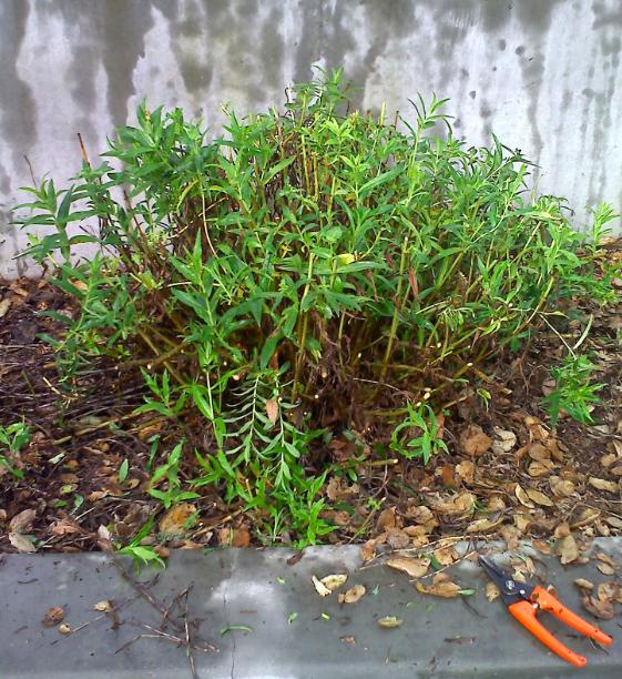Perennialcutback5