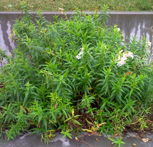 Perennialcutback4