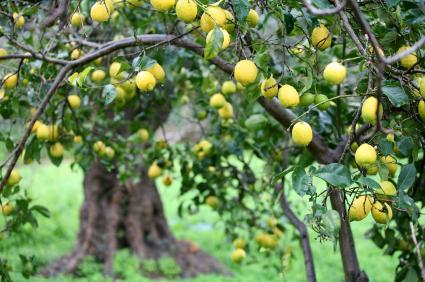 Bowed lemons