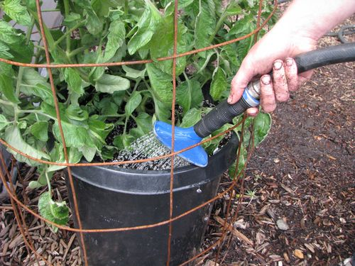 Watering a Tomato Plant