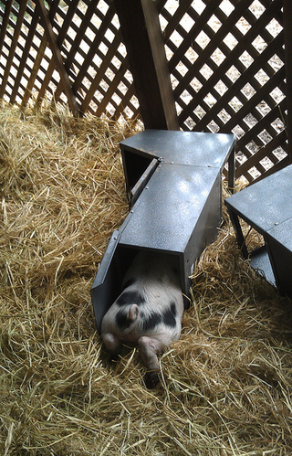 Gloucester Old Spot Piglet in feeder