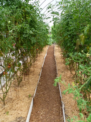 Row of tomatoes in a hoophouse