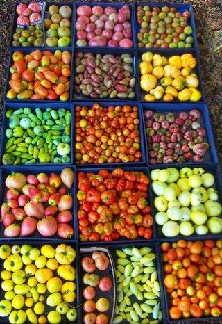 Tomato Masters