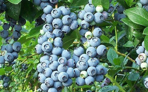 6424-Brightwell-Rabbiteye-Blueberry