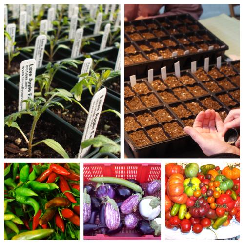 Picstitch tomato pepper eggplant class