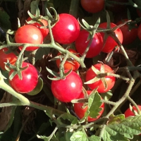 Fruit Punch Cherry (1)