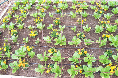 Violas and Sucrine Lettuce