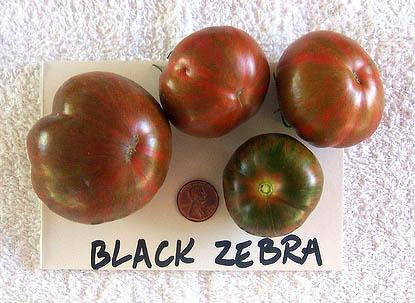 Black_zebra