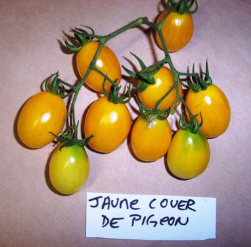 Jaune_couer_de_pigeon