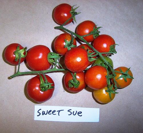 Sweet_sue_cherry